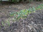 Daffodil shoots coming up