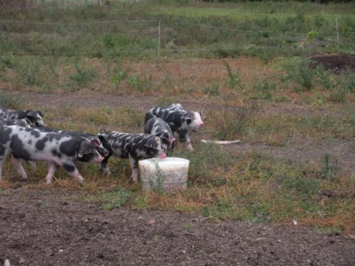 Young, spotted pigs finding the whey