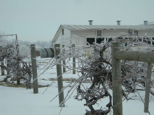 Frost covered grape vines