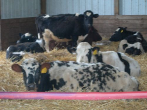 Dairy cows relaxing on their straw pack during the winter