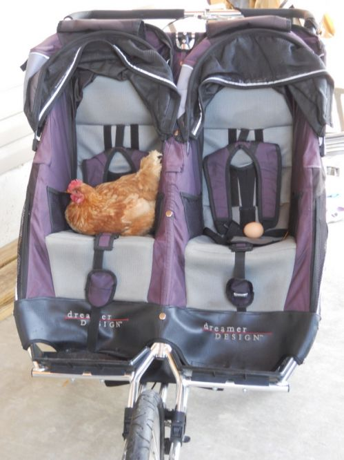 chicken in stroller