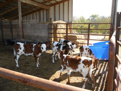 Fall Calves, 2010