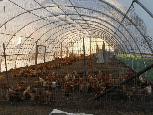 chicken greenhouse
