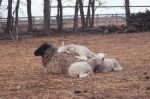 Nap time for lambs