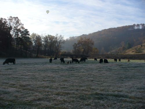 Beef cattle in a frosty field