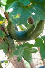 Loofah Gourds
