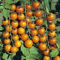 Village Acres Sungold Cherry Tomatoes