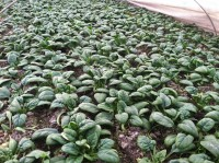 Spinach (1/3 lb bag)