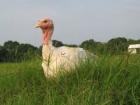 Deposit for Large Turkey (19-24 lb range): Fresh Pasture Raised, per lb