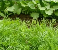 Dill or Cilantro - bunched