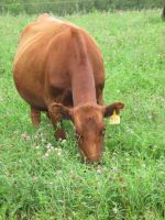 Cow in Clover