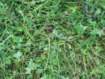 Clover Coming Back After Grazing