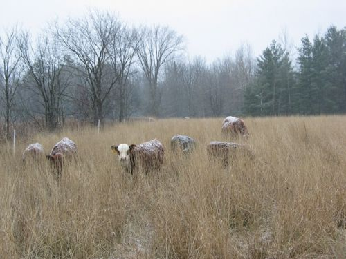 Early Winter Grazing