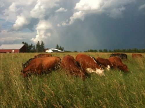 Cattle after a storm