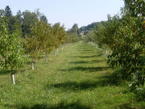 Orchard Country apple trees