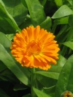 Beautiful Calendula