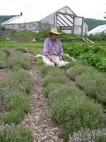 Andrea harvesting Thyme