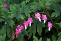 Bleeding Heart Flower Essence