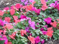 Impatiens Flower Essence