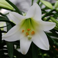 White Easter Lily Flower Essence