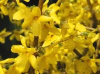Forsythia Flower Essence