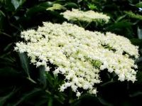 Elderflower Essence