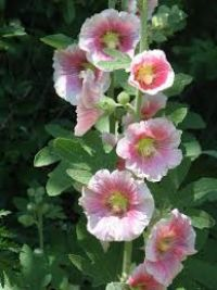Holly Hock Flower Essence