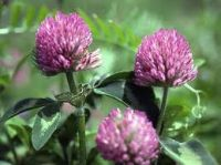 Red Clover Blossom Flower Essence