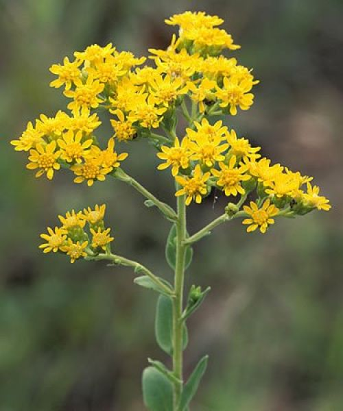 Goldenrod Tincture