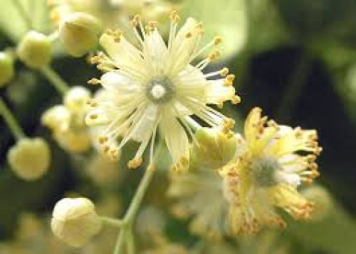 Linden Flower Essence