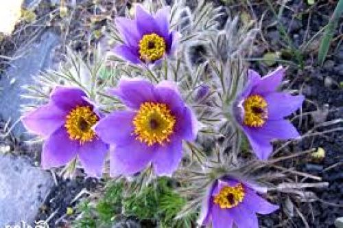 Pulstilla Flower Essence