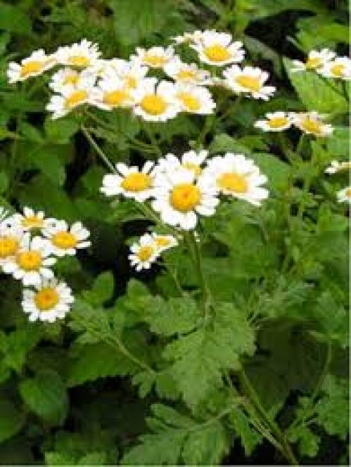 Feverfew Flower Essence