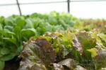 Lettuce transplants in the green house