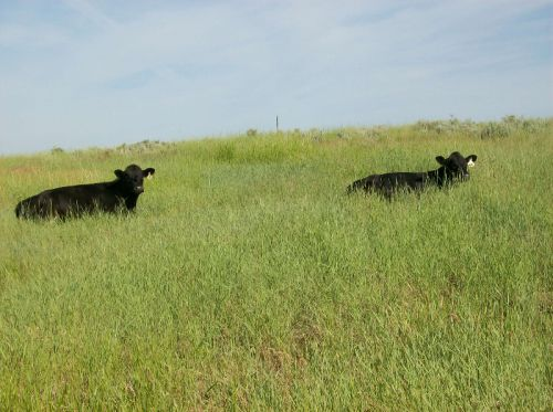 heifers in pasture summer