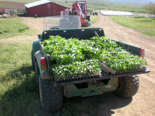 squash plants loaded to plant