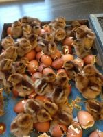 chicks in tray