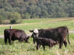 Commercial cow with calf