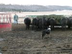 Getting ready to have Mac brush the steers off the hay wagon.