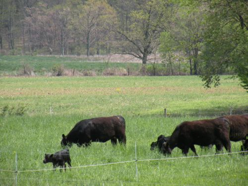 First calf heifers and calves co-grazing with finishing animals