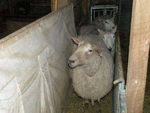 Ewes in the chute.