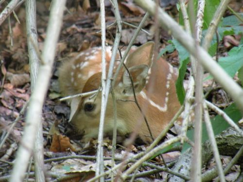 Fawn hiding in a brush pile