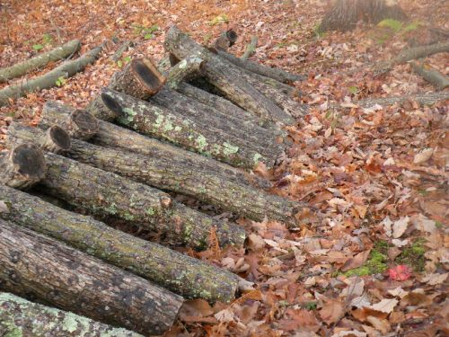 Innoculated oak logs.