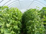 High tunnel of cucumbers