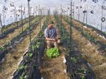 Mark planting secondary crop of lettuce