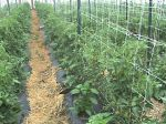 Tomatoes with secondary crop of peppers