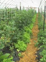 Cucumbers with lettuce