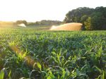 Sweet corn irrigation