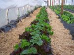 Cucumbers with secondary crop of lettuce