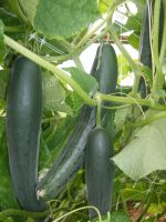 High tunnel cucumbers