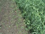 Field peas and oats